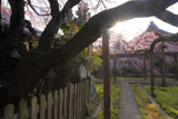 朝陽と長誓寺のしだれ桜