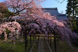 朝の長誓寺の枝垂桜