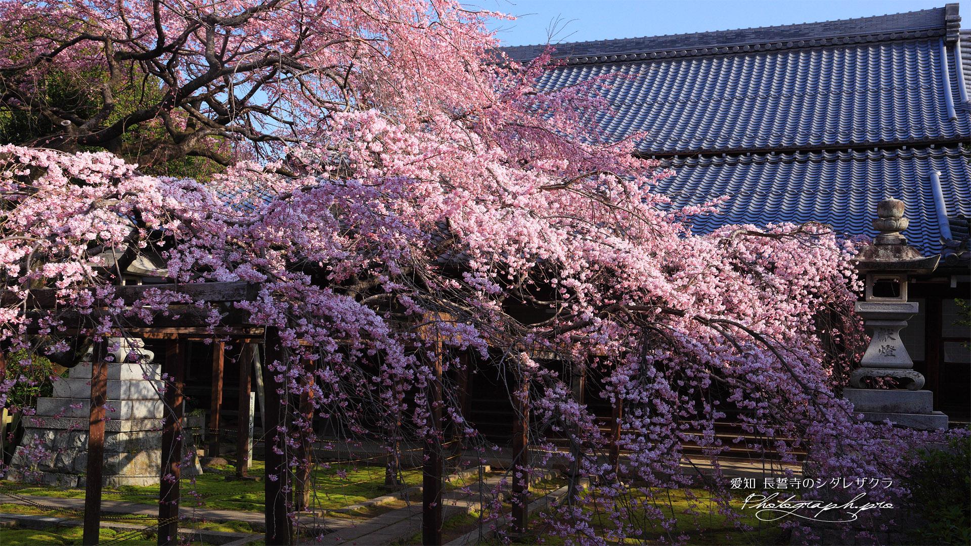 長誓寺の枝垂れ桜と本堂