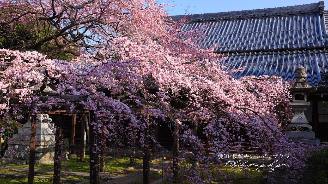 長誓寺の枝垂れ桜と本堂 壁紙