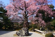 曼陀羅寺の弥陀桜