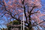 曼陀羅寺の江戸彼岸桜