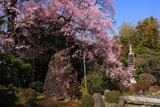 曼陀羅寺の彼岸桜