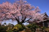 覚成寺の彼岸桜