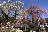 林陽寺の枝垂桜