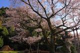 樹齢100年ほどの鵜飼桜