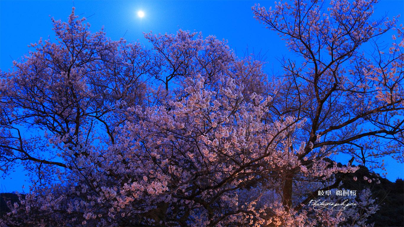鵜飼桜 月光 壁紙