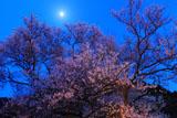 鵜飼桜 月光