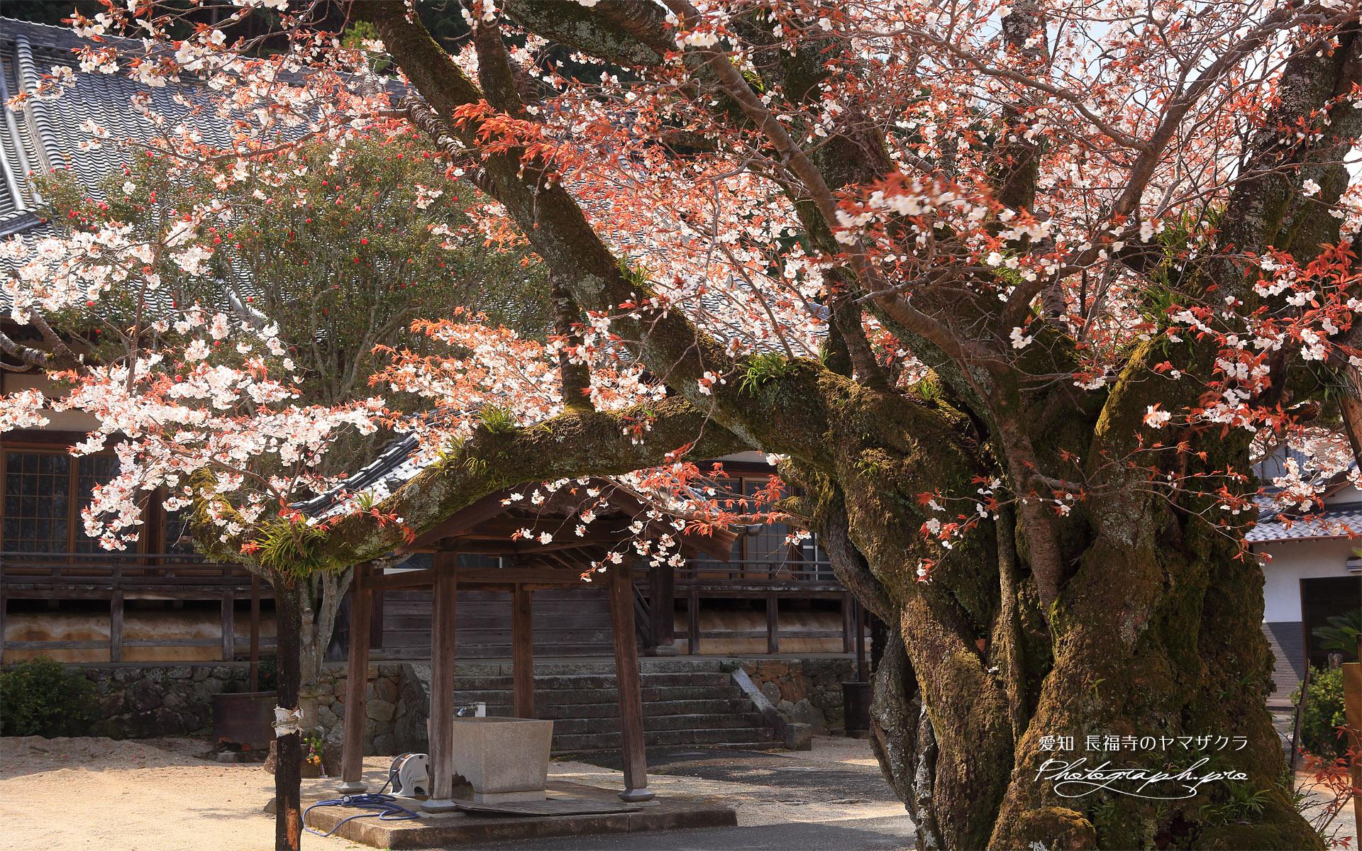 長福寺のヤマザクラ
