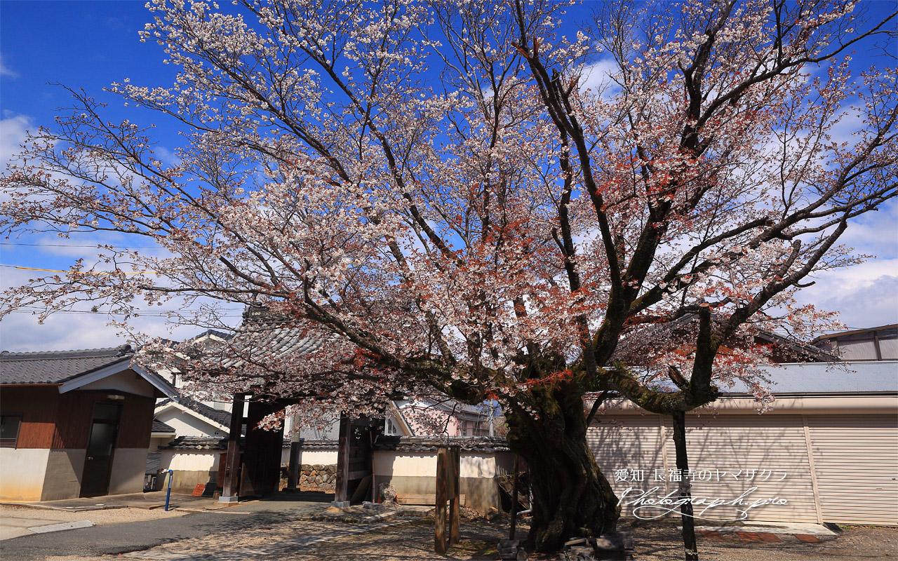 長福寺のヤマザクラ 壁紙