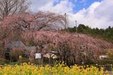 宝円寺のシダレザクラ