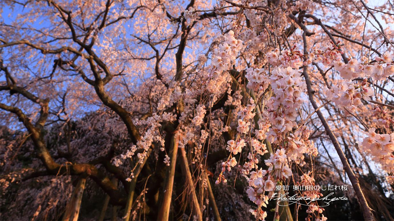 奥山田のしだれ桜 壁紙
