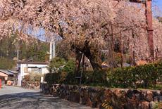 柏崎出張所の枝垂れ桜