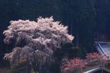 龍祥寺の枝垂れ桜