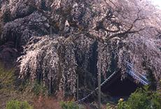 龍祥寺の不盡桜