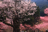 春谷寺の江戸彼岸桜