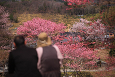春谷寺のエドヒガン桜