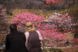 白子不断桜