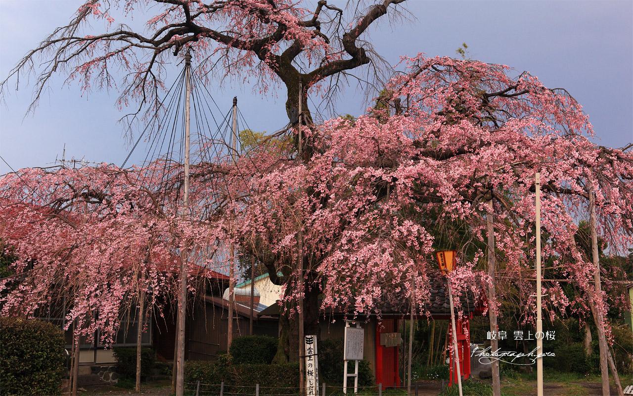 雲上の桜 壁紙