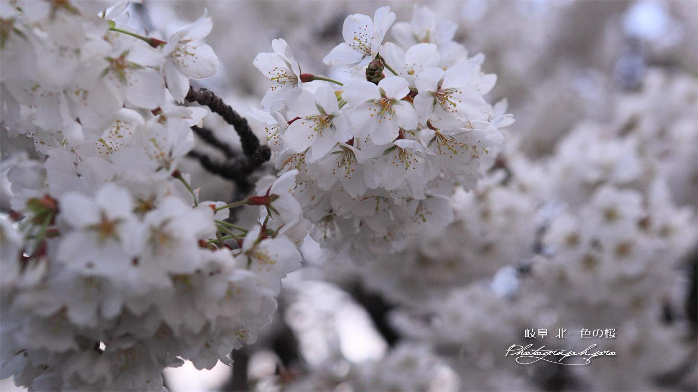 北一色の桜 壁紙