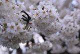 北一色の桜