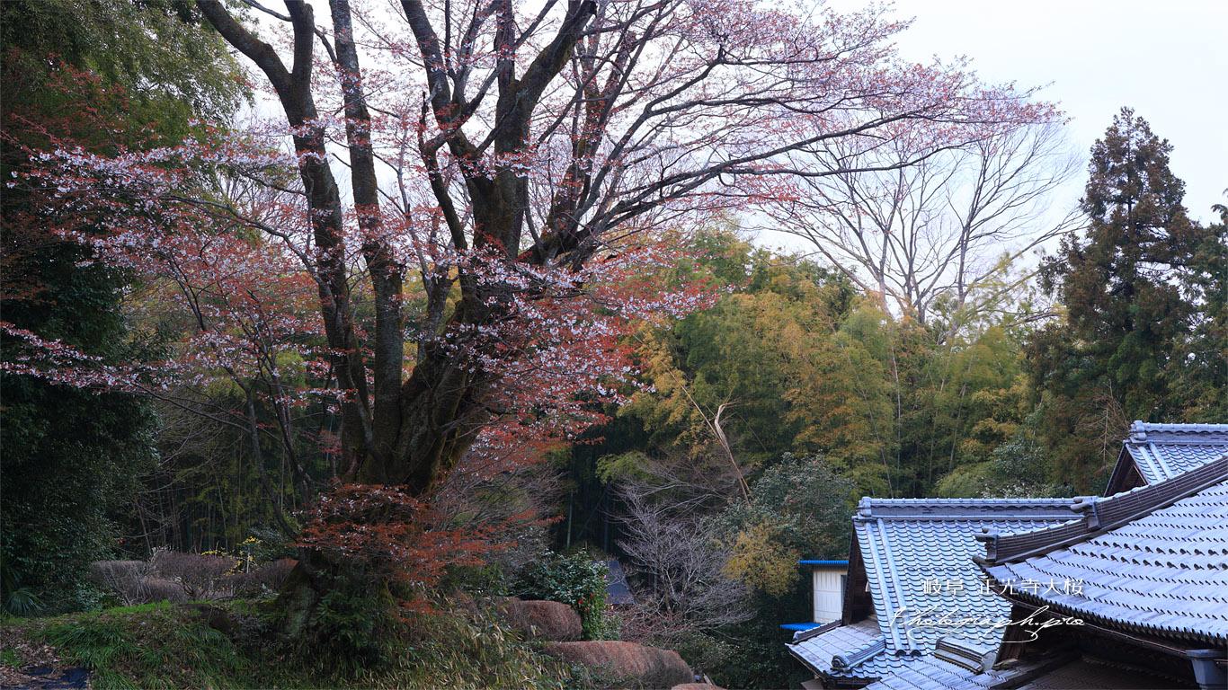 正光寺大桜 壁紙