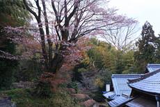 正光寺大桜