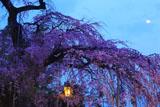 毘沙門さんの桜