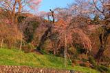 興徳寺の江戸彼岸桜