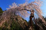 延命寺のしだれ桜