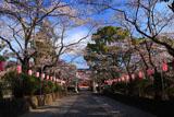 浅間大社の桜 参道の桜並木