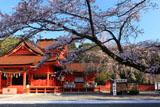 浅間大社の桜 浅間造の本殿
