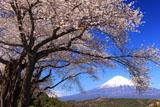 富士山と妙松寺のサクラ