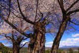 妙松寺の夫婦桜