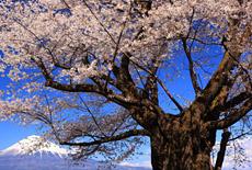 静岡県の桜