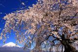 先照寺のしだれ桜