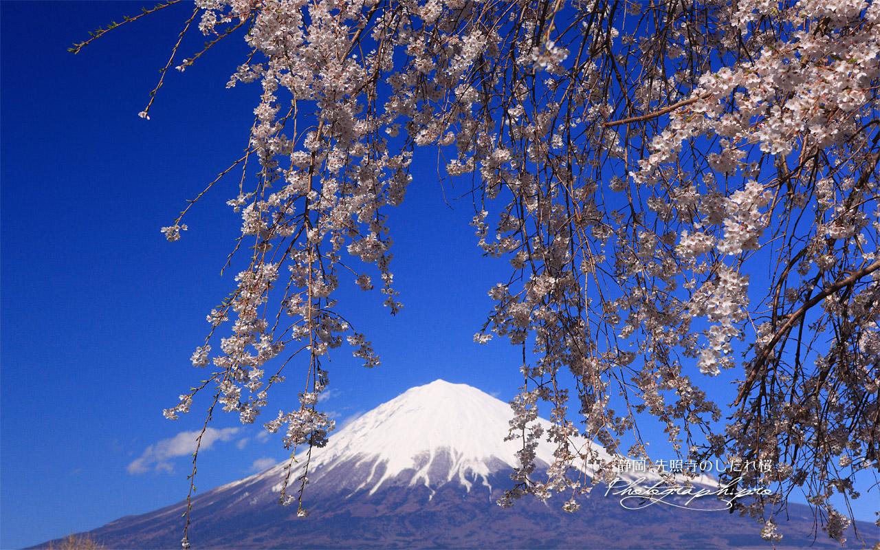 先照寺の枝垂桜 壁紙