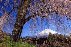 常境寺のしだれ桜