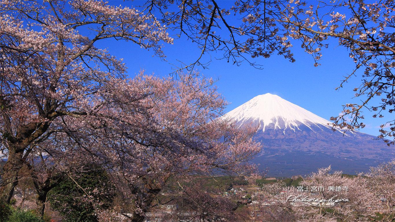 興徳寺の桜 壁紙