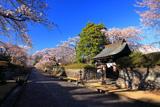 大石寺の桜