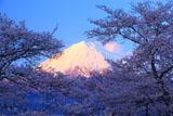 浅間大社の桜 赤富士