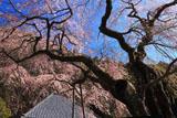 久円寺の寿永の桜