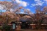 妙法華寺の桜