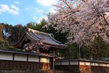 妙法華寺の桜 百間塀