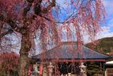 白泉寺枝垂桜