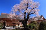 天応院の桜