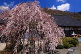 善勝寺の枝垂れ桜