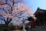 大光寺の江戸彼岸桜