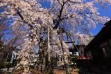 大光寺のしだれ桜