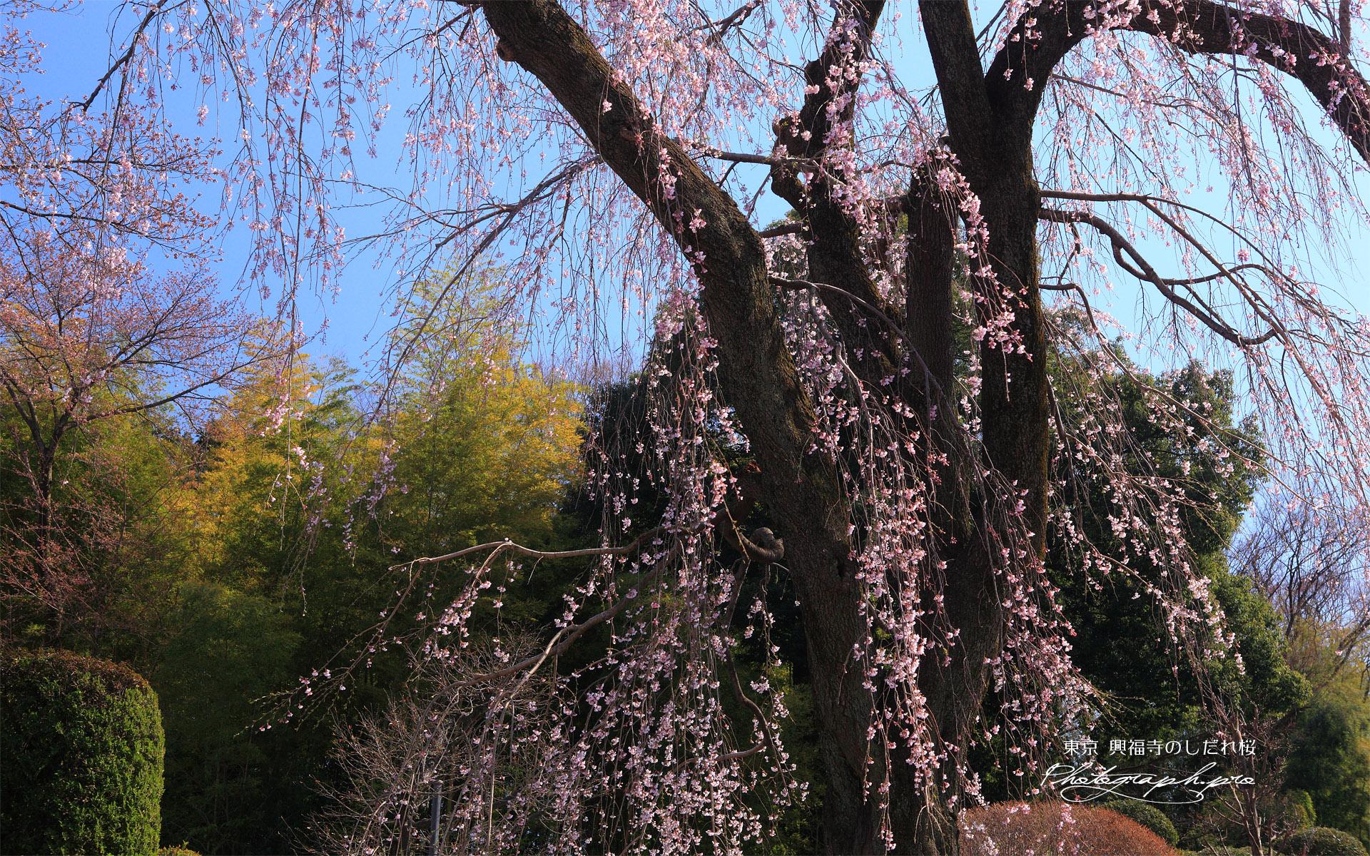 興福寺のしだれ桜